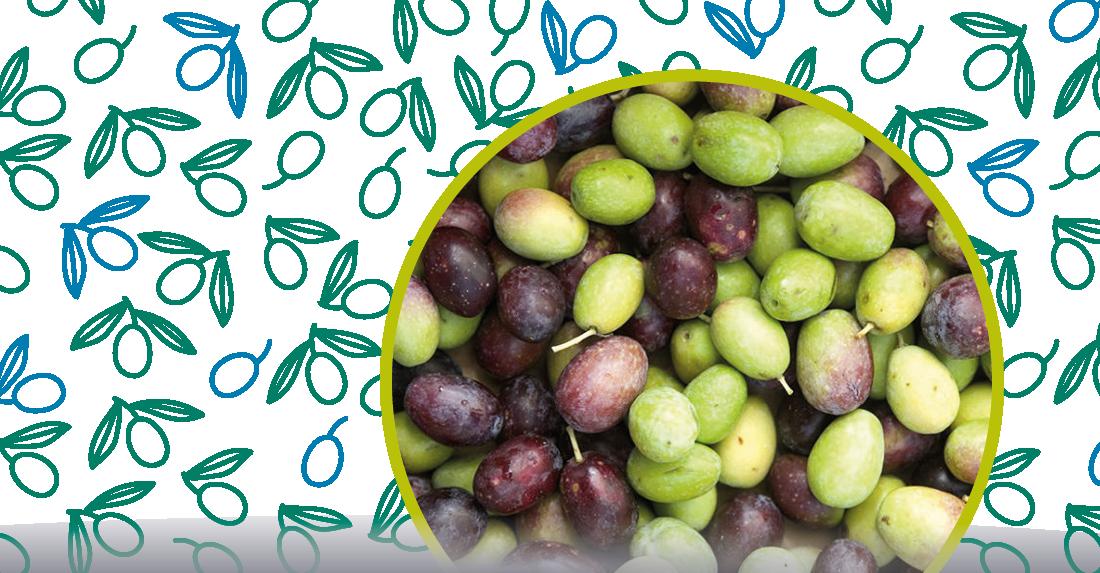 la maturazione delle olive