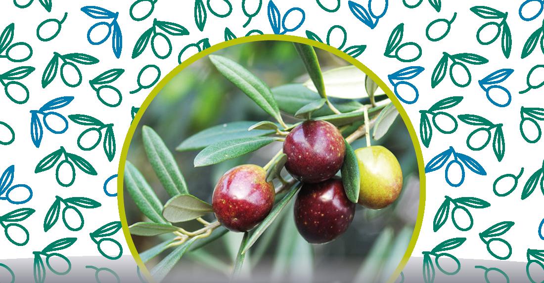 oliva-coratina
