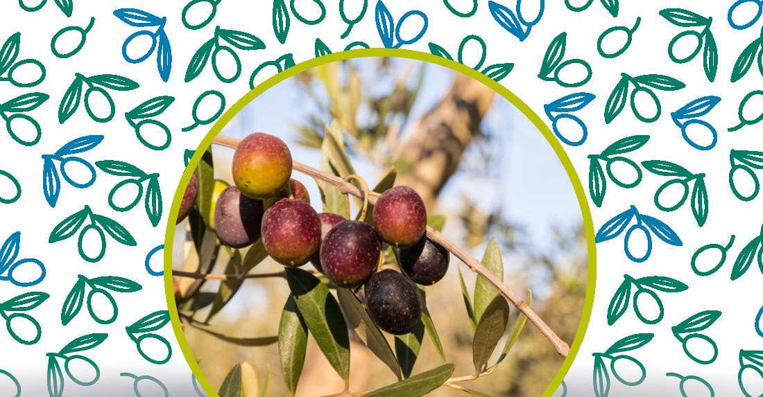 l'invaiatura delle olive