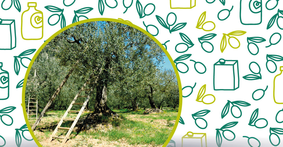 la potatura dell'ulivo